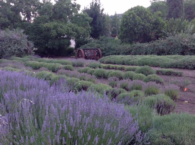 The lavender fields at Morningsun Herb Farm. Credit: Dan Sale