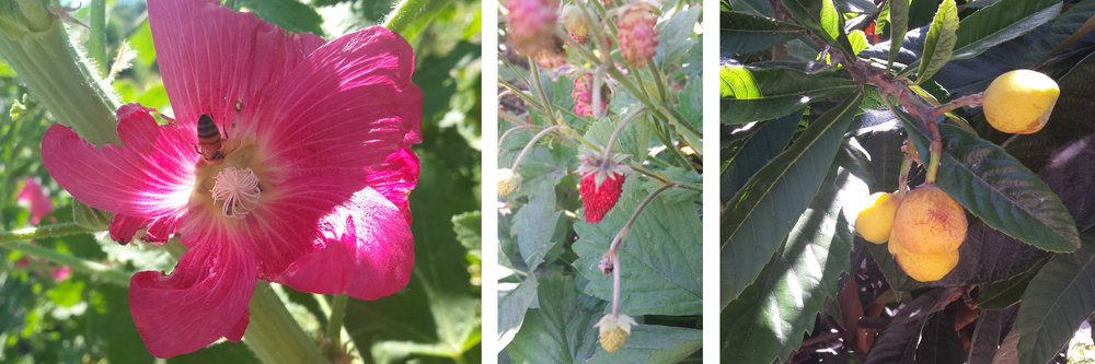 Hollyhock, alpine strawberry, and loquat at Del Rio Farm. Credit: Soleil Tranquilli