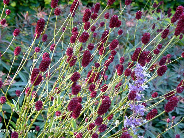 Sanguisorba officinalis  Credit: Digging Dog Nursery