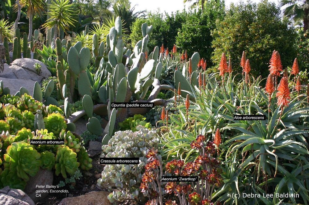 Pictured are the author's go-to firewise succulents: Opuntia, Aeonium arboreum, Crassula arborescens, Aeonium 'Zwartkop,' Aloe arborescens