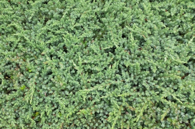 Juniperus  (low growing varieties) time for a comeback? Photo courtesy of  Village Nurseries .