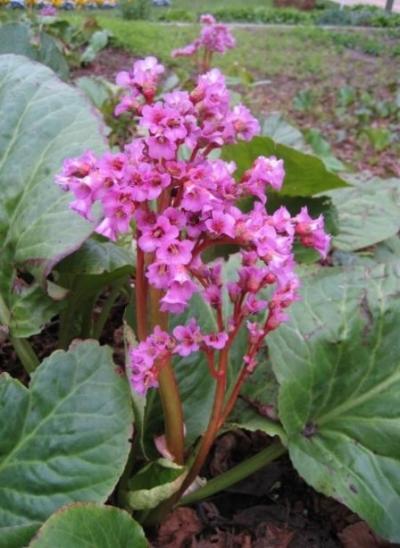 Bergeneia cordifolia-emerisa gardens.jpg