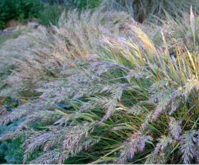 Calamagrostis foliosa , MENDOCINO REED GRASS Photo courtesy of  Emerisa Gardens .