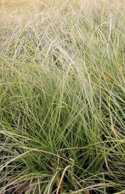 Carex pansa , DUNE SEDGE Photo courtesy of  Emerisa Gardens .