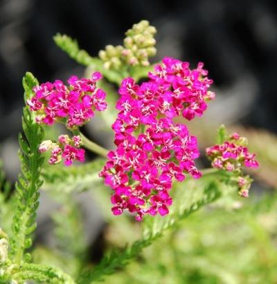 Achillea millefolium  Photo courtesy of  Emerisa Gardens .