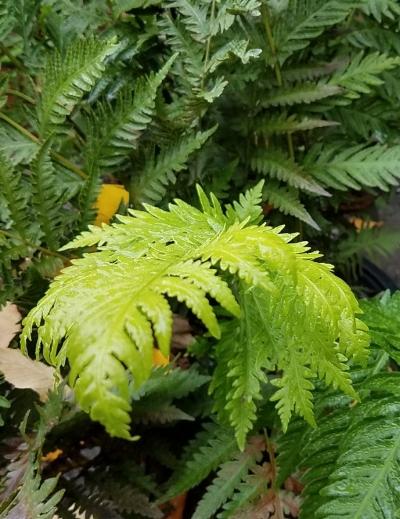 Woodwardia fimbriata , GIANT CHAIN FERN Photo courtesy of  Urban Tree Farm Nursery .
