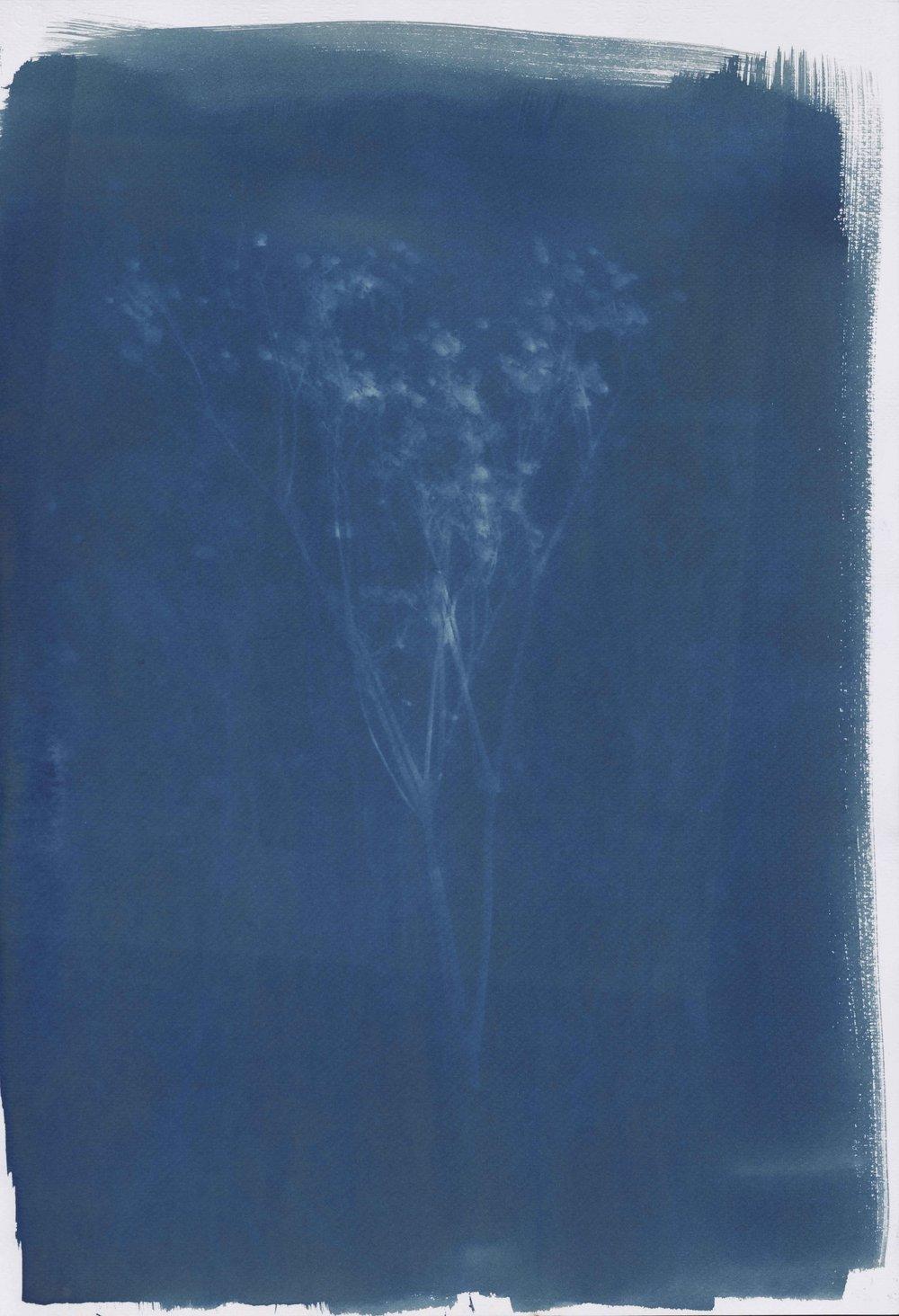 《植物11》35X47CM蓝晒纸本2017年.jpg
