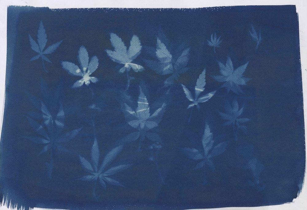 《植物14》35X47CM蓝晒纸本2017年.jpg