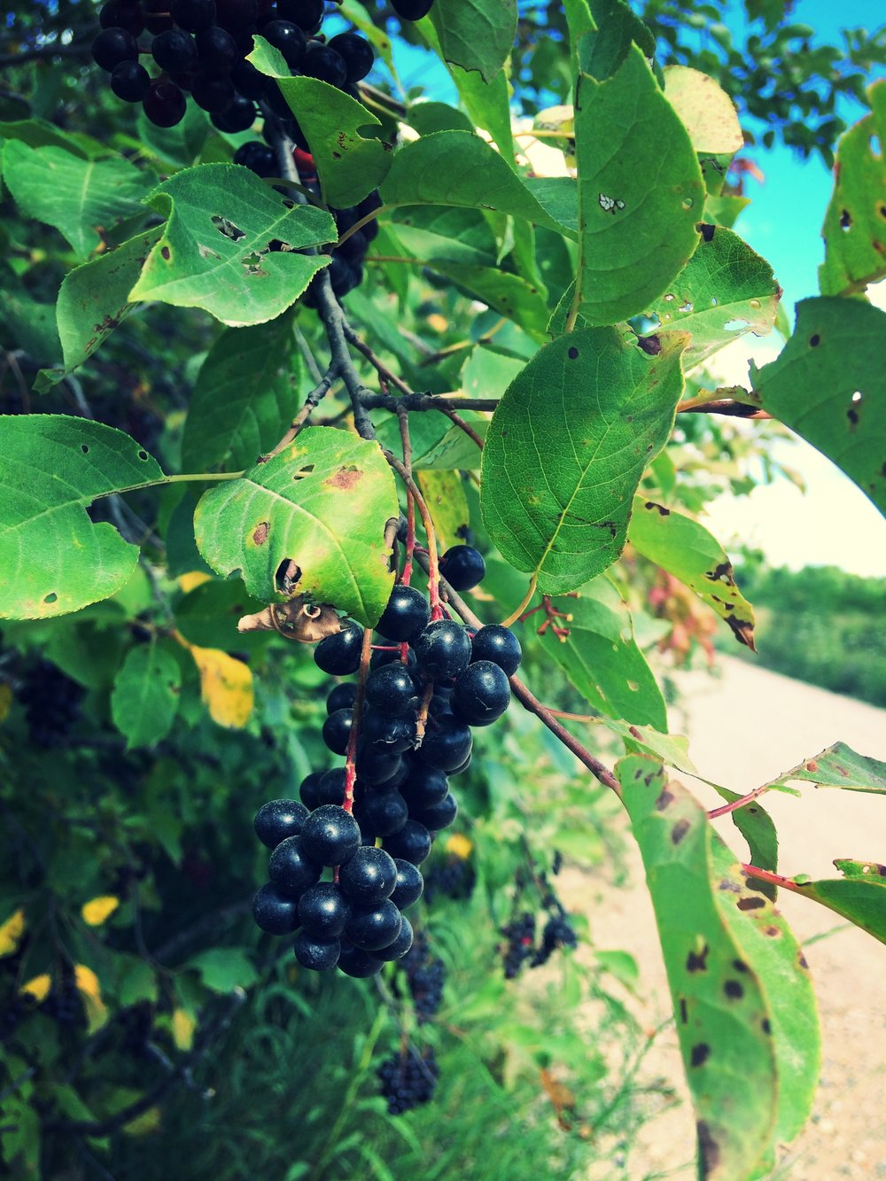 chokecherries growing along a gravel road