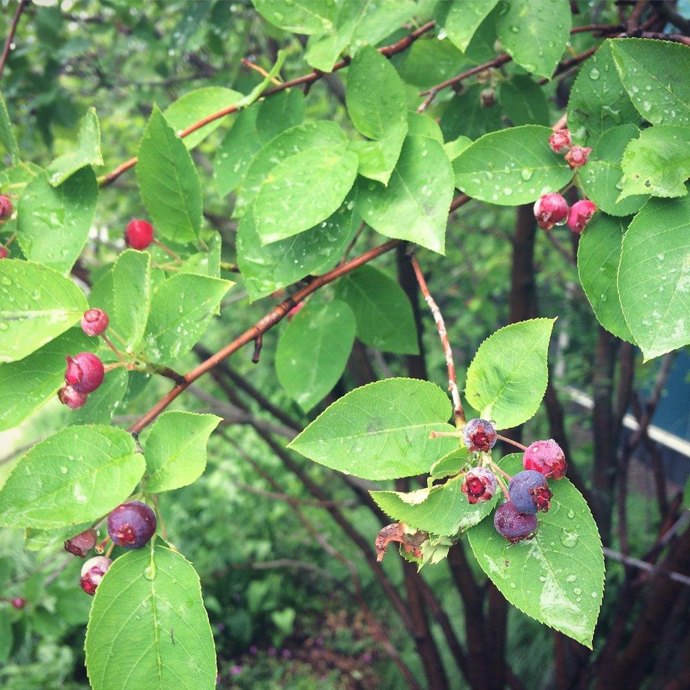 Juneberries approaching ripeness