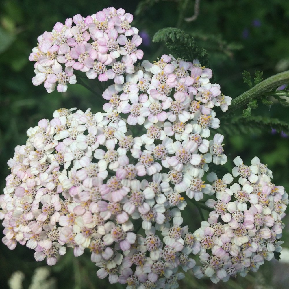 Yarrow Flower with Pink Tint