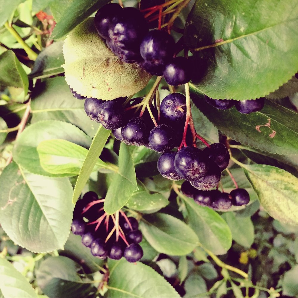 Chokeberry ( Aronia melanocarpa )