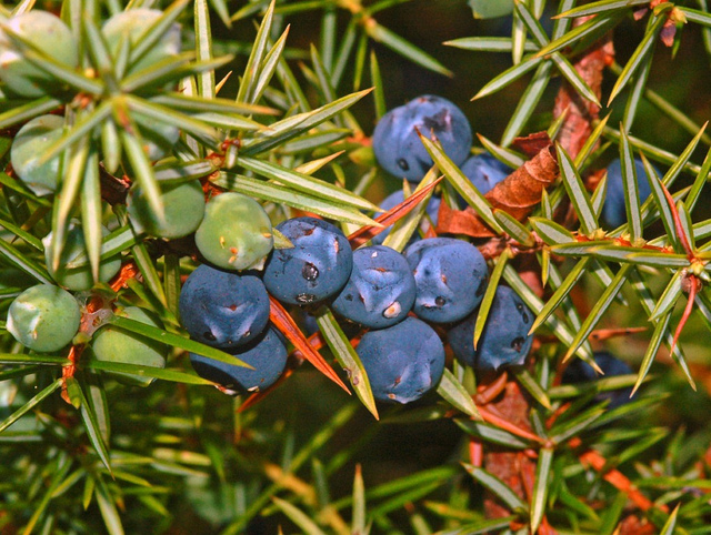 Close-up of common juniper.  Ettore Balocchi  /  Juniperus communis  /  CC BY 2.0