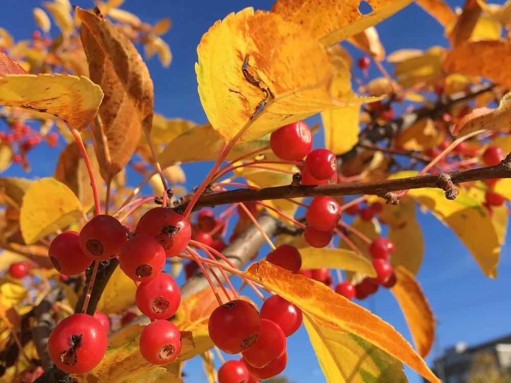 Fall Crab Apple Fruits.