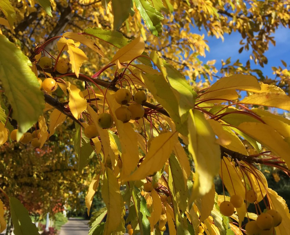 Crab apples growing along the Midtown Greenway in Minneapolis.