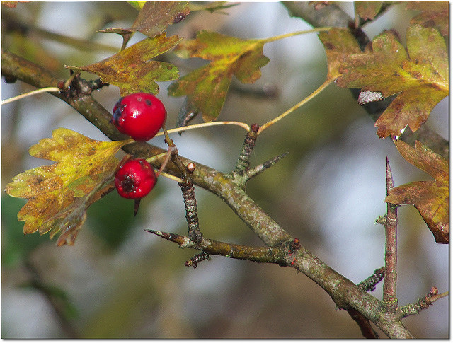 Hawthorn. Note the sharp thorns coming off the twigs and the nearly-spherical buds.  Sean_Hickin  /  Hawthorn  /  CC By 2.0
