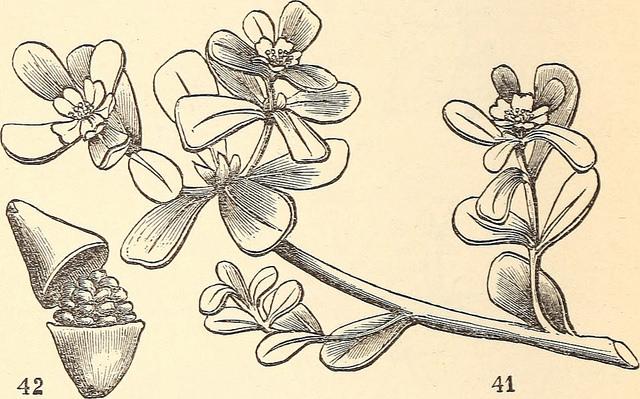 Botanical plate of purslane ( Portulaca oleracea).