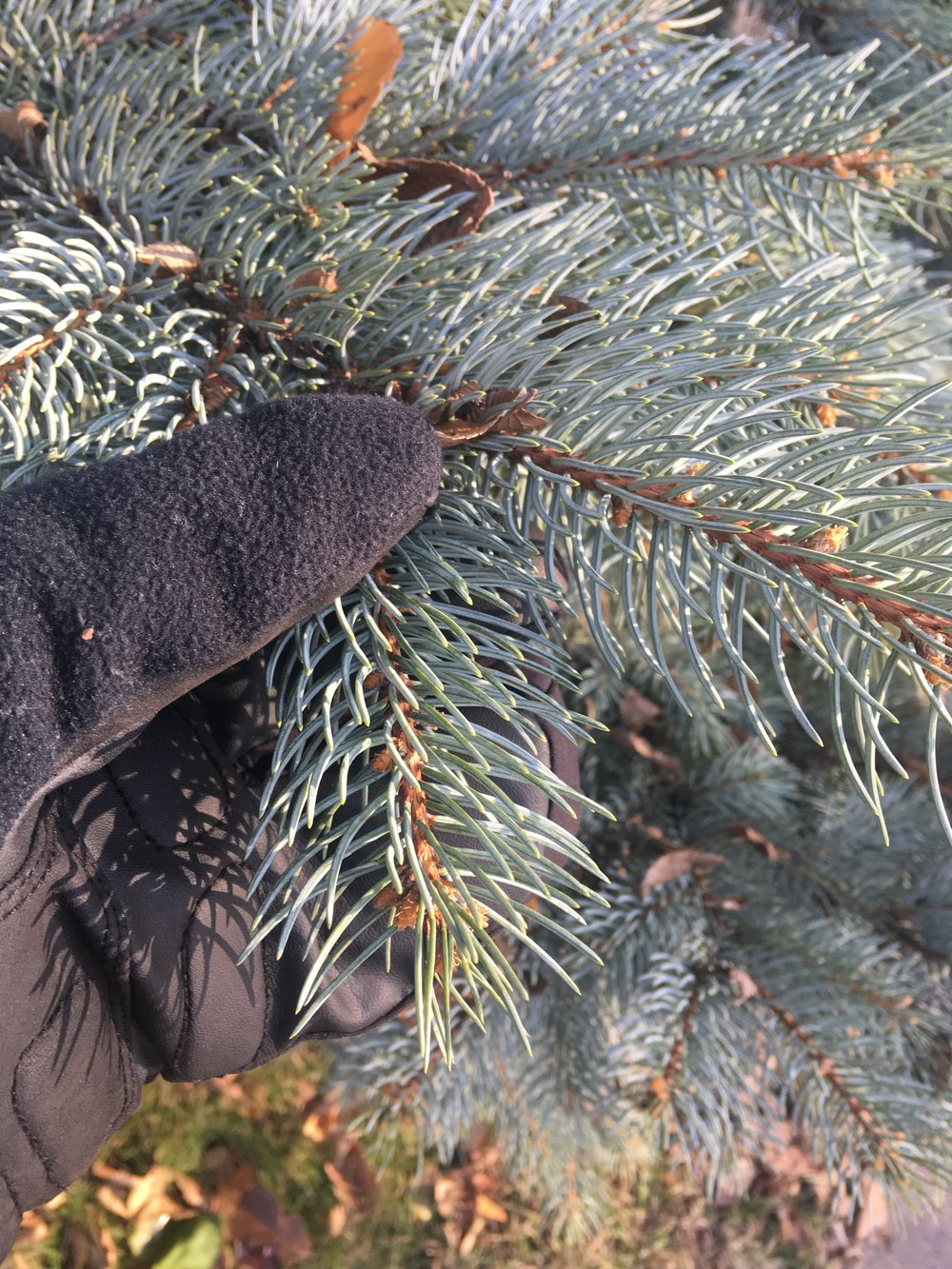 Spruce needles are sharply pointed, roughly rectangular in cross-section, and are arranged in a spiral on the twig.