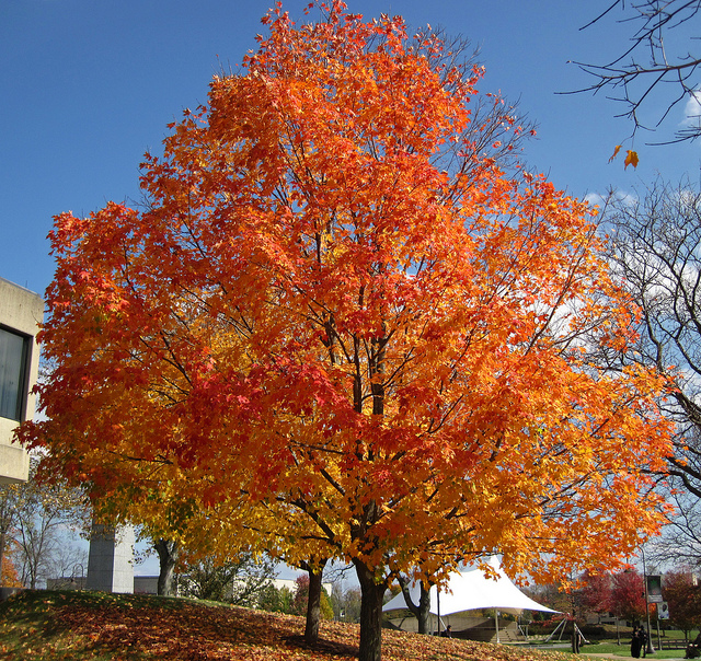 Can you see the Egg shape of this sugar maple?  James St. John  /  Acer Saccharum  /  CC By 2.0