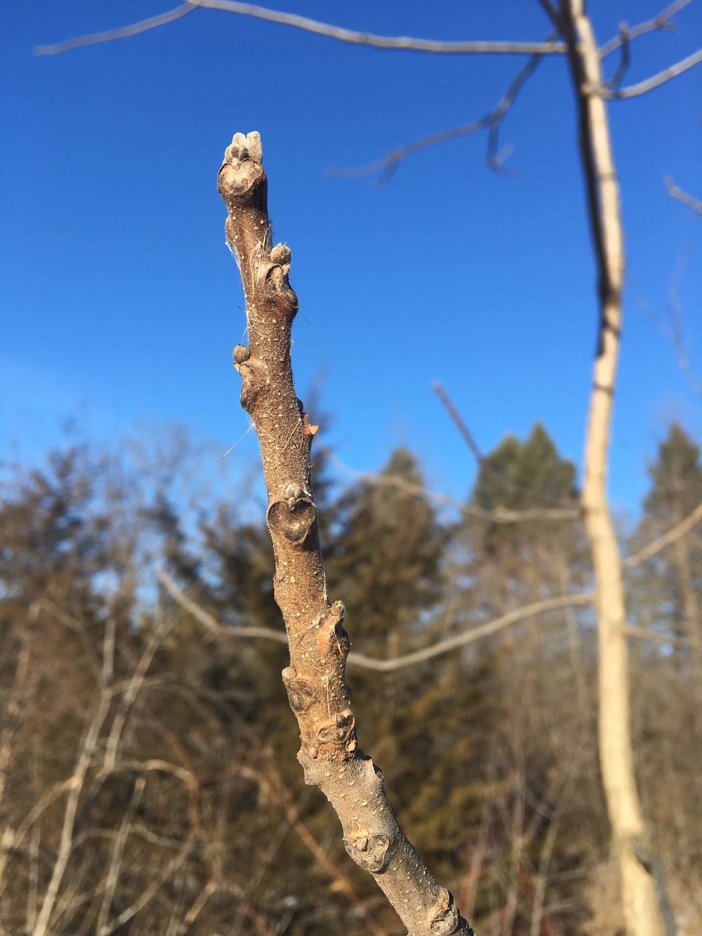 Black walnut ( Juglans nigra ) has light brown, fuzzy winter buds. The leaf scar is said to resemble a monkey face. Note the alternate arrangement of the buds.