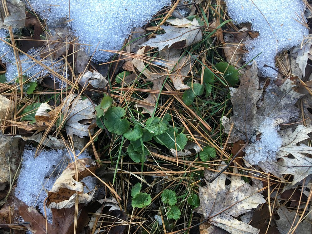Ground ivy ( Glechoma hederacea ) peaking out through the snow.