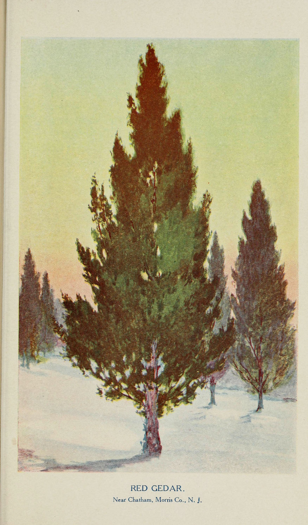 A painting of red cedar ( Juniperus communis ).