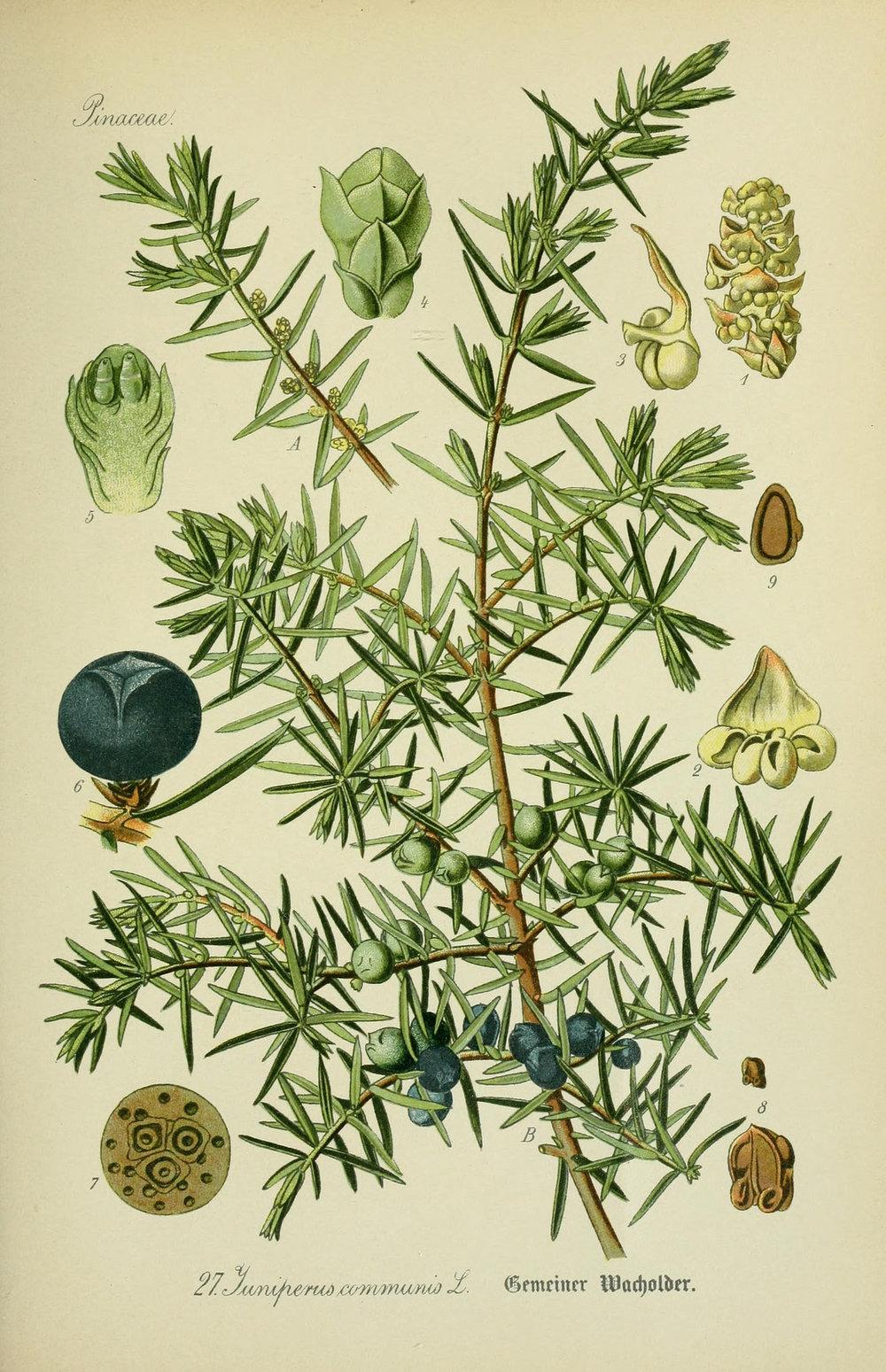 A botanical plate of common juniper ( Juniperus communis ).
