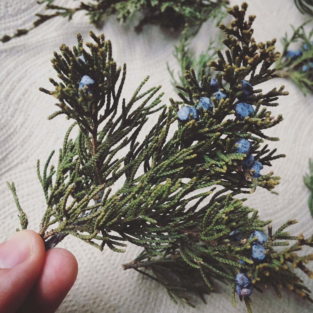 Dried juniper ( Juniperus virginiana ) twig with ripe berries.