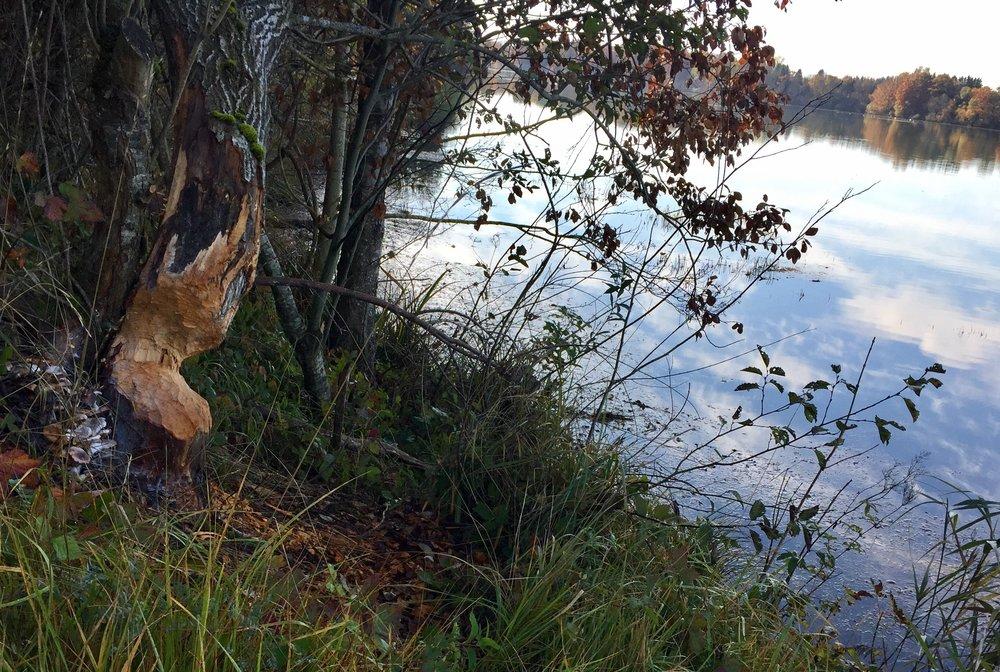 Ved elven Lech er det mye bever og de gjør mye skade.