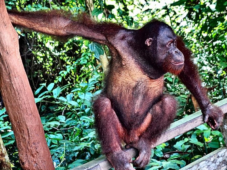 orangutan-1193732_1920.jpg