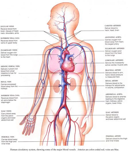 Human circulatory diagram wiring library vascular system diagram images human anatomy organs diagram rh awmg info human circulation diagram human circulatory system diagram ks2 ccuart Image collections