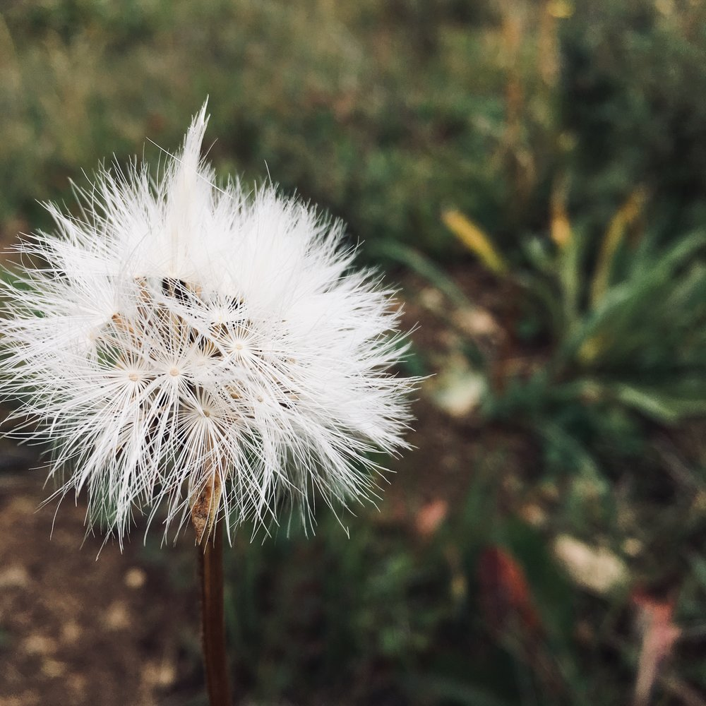 Dandelion, September hike. The path, noticing, where my foot falls along the way.