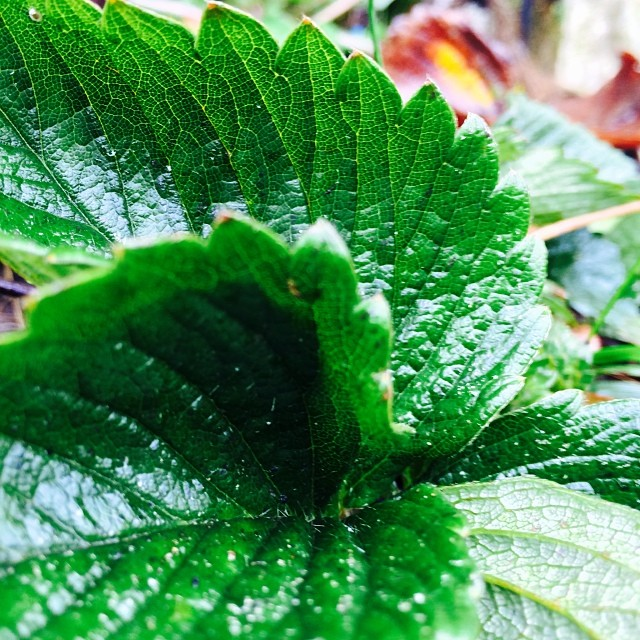 #leaf #green Shiny and clean