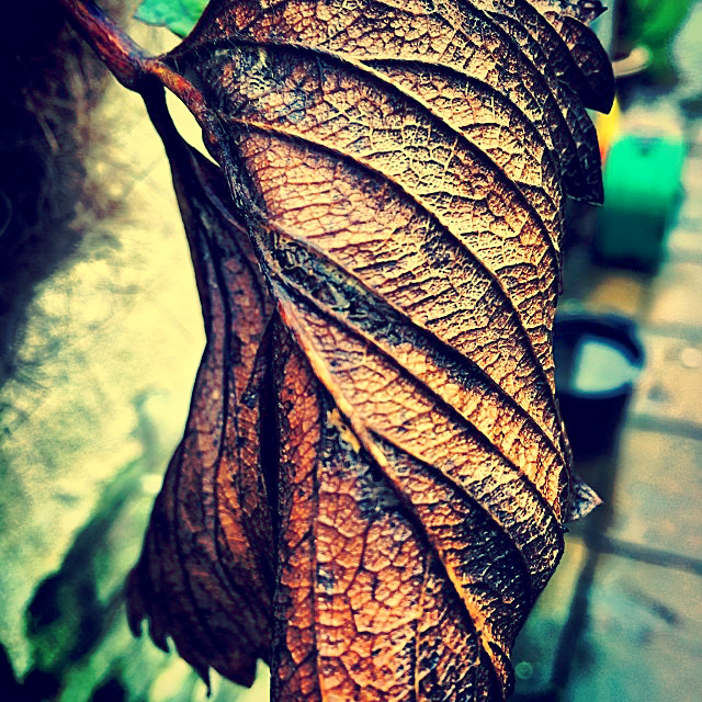 Autumn Leaf in Decay