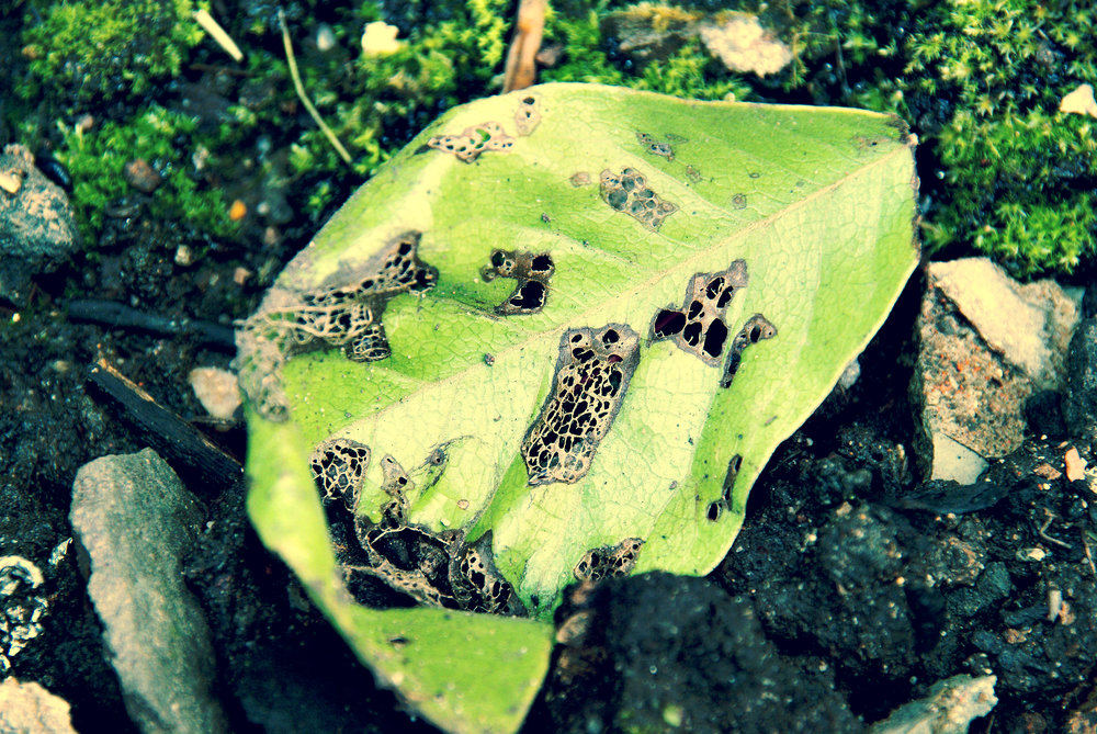 decaying garden leaf.jpg