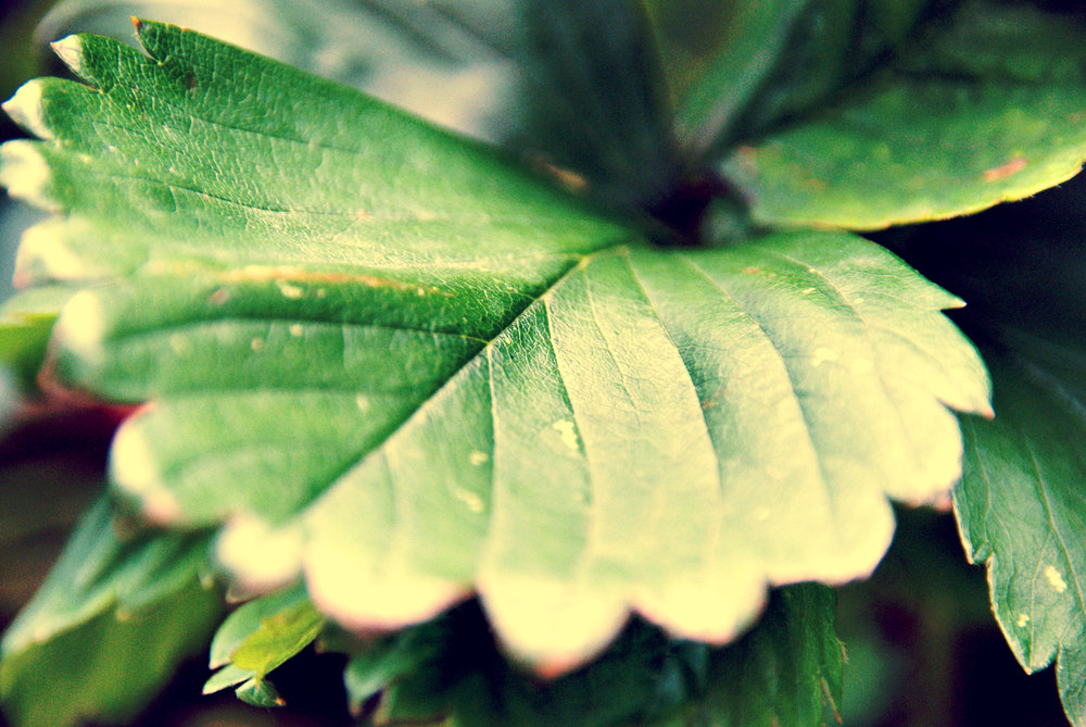 green leaf in the garden.jpg