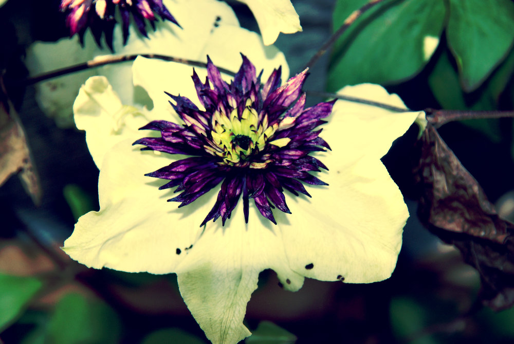 white and purple garden flower 2.jpg