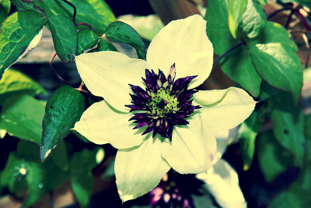 white and purple garden  flower.jpg