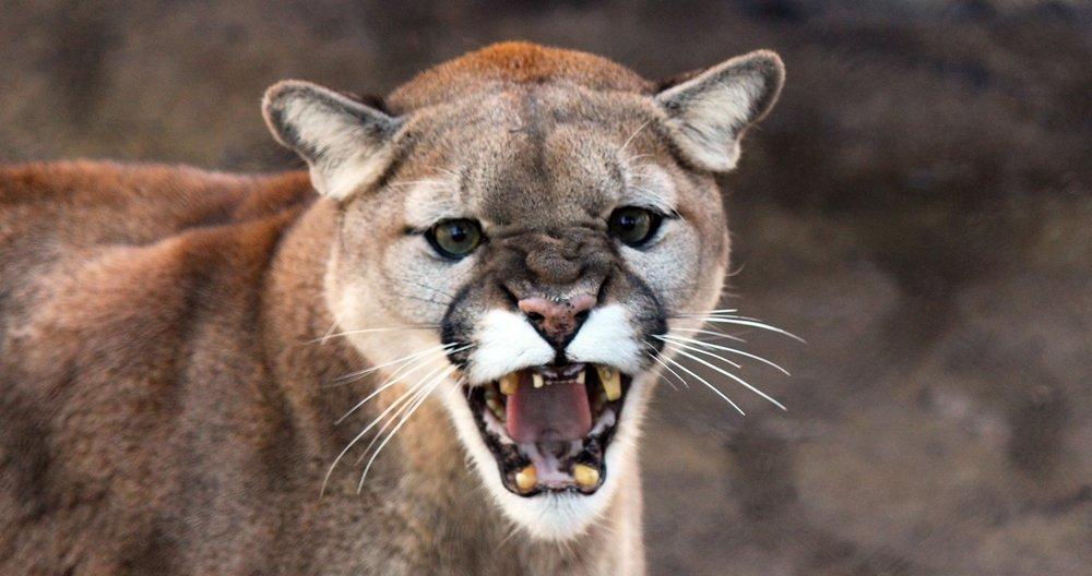 Yelling Cougar.jpg