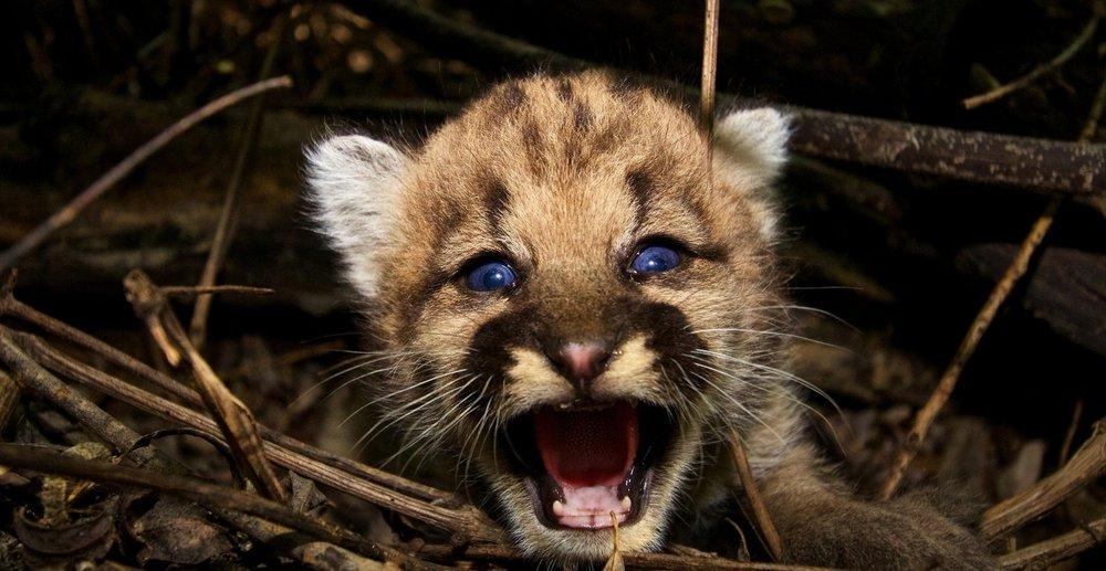 Baby Cougar.jpg