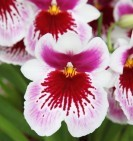 miltonia_pink_white_orchid_189784.jpg