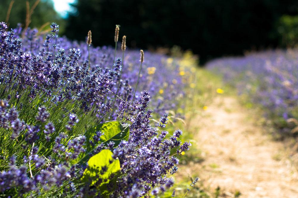 lavender 2 (1 of 1).jpg