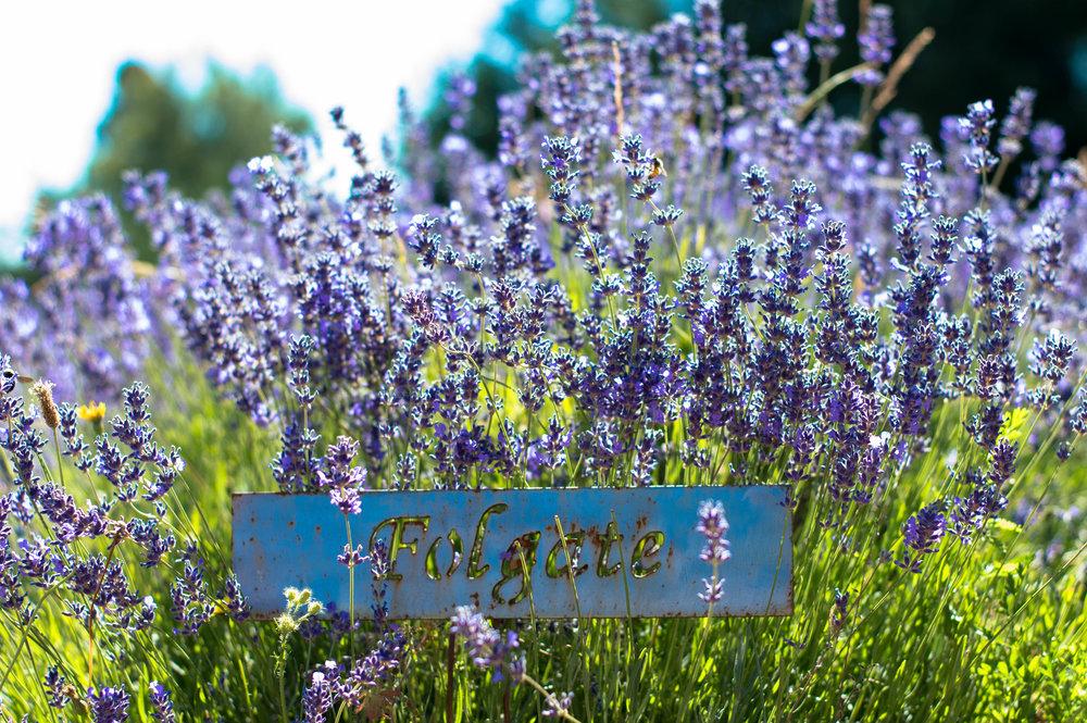 lavender 3 (1 of 1).jpg