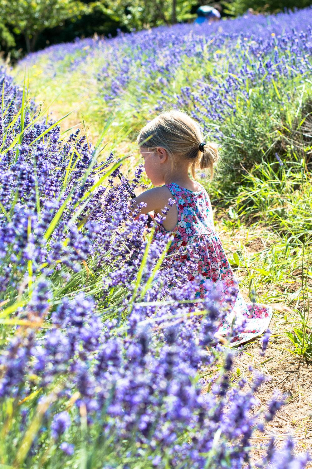 lavender 14 (1 of 1).jpg