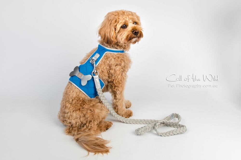 Oscar with harness-160918-2.jpg