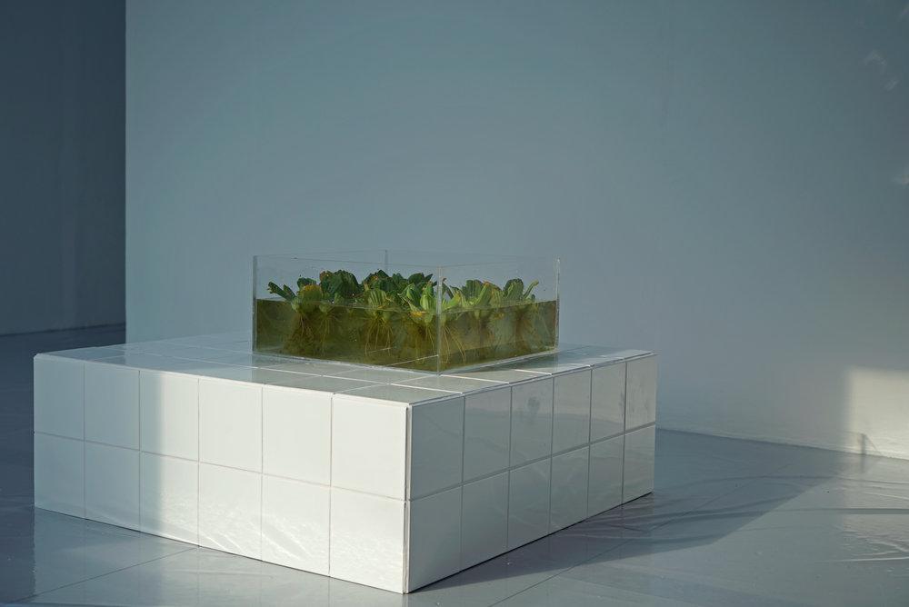'Water Lettuce' - Photo by:  Ben Wells  &  Adam Wells