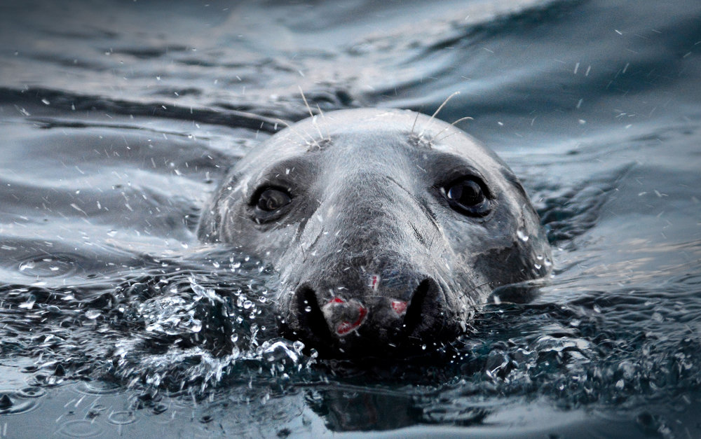 Grey Seal Vardø © Biotope