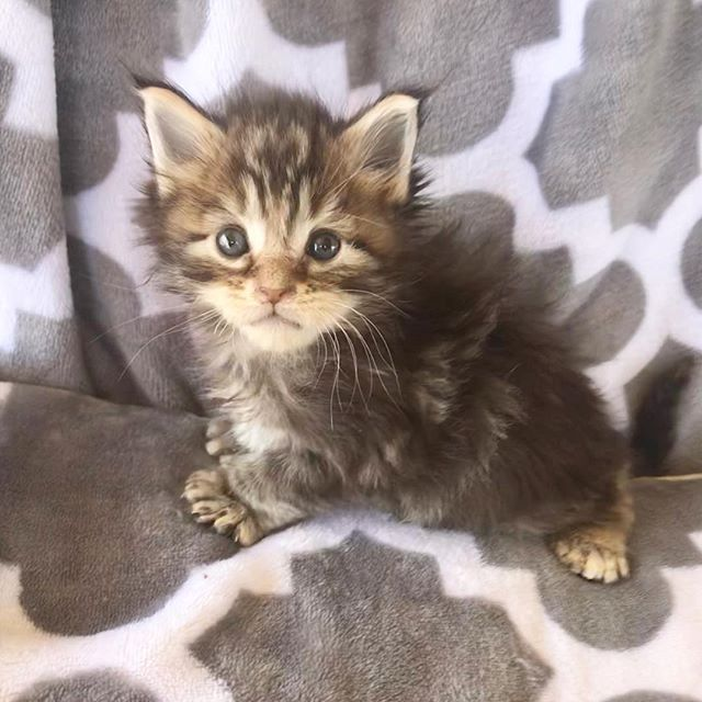 Two poly kittens for sale #poshmainecoons #mainecoon #polydactylcat #polydactylkitten #polydactylkittenforsale #mainecoonpolydactyl #mainecoonlovers #mainecoonbaby #mainecoonhouse