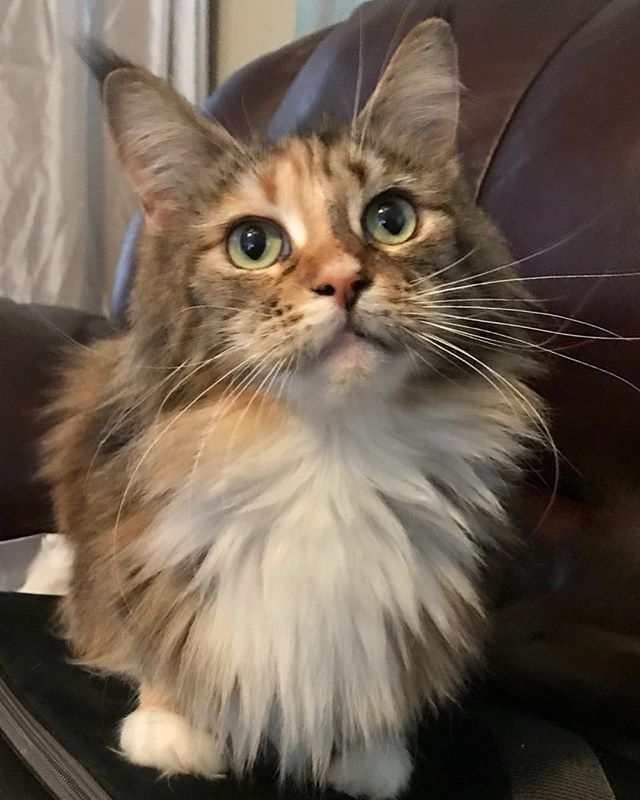 Beautiful SarahBeth I thought she was pregnant but I'm not sure #poshmainecoons #polydactylcat #mainecoon #mainecoonhouse #mainecooncat #mainecoonoftheday #mainecoonofinstagram #mainecoonbaby