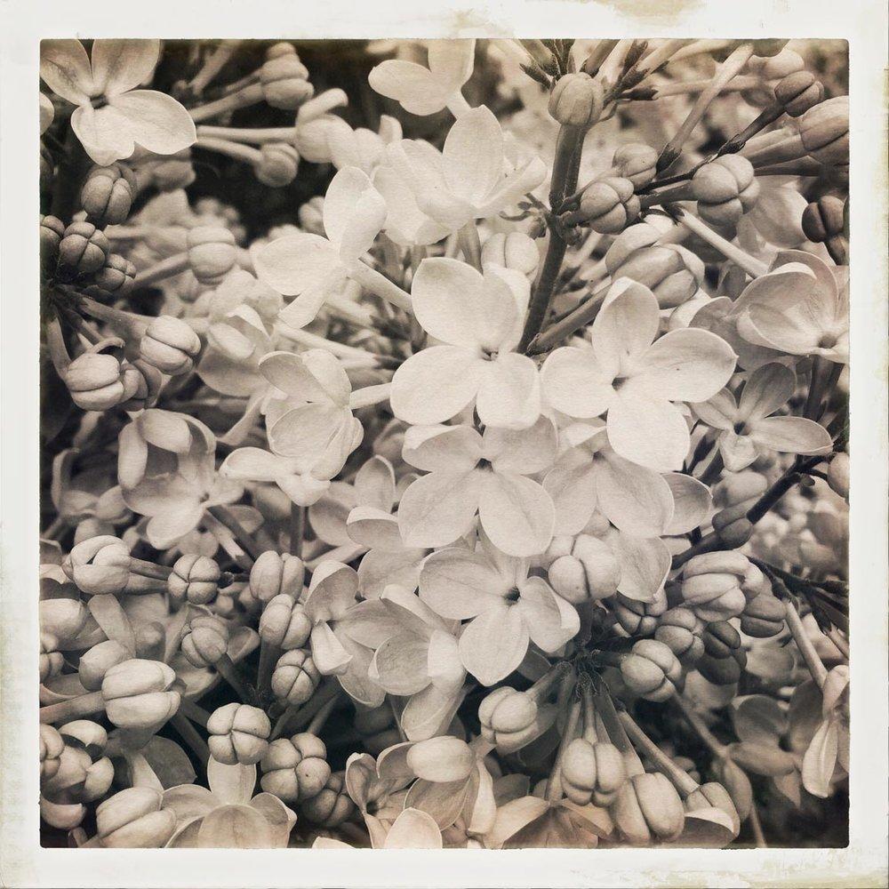 Lilacs1_2017-11-7